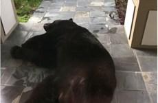 Gia đình hốt hoảng khi thấy con gấu đen ngủ quên trước cửa nhà