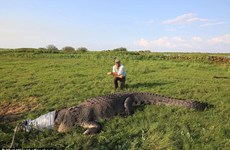 """Bắt sống cá sấu khổng lồ dài 5m, chuyên gia bị """"ném đá"""""""