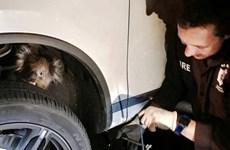 Chú gấu túi may mắn sống sót sau hành trình 16 km kẹt giữa bánh xe