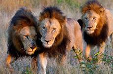 Bé gái may mắn được ba con sư tử giải thoát khỏi những kẻ bắt cóc