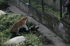 Du khách chung sức giải cứu nhân viên vườn thú bị hổ dữ tấn công