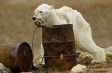 Rớt nước mắt hình ảnh gấu Bắc Cực trơ xương, bới thùng rác tìm thức ăn