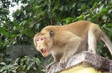 Ninh Thuận: Đàn khỉ xuống núi phá hoa màu, tấn công người dân