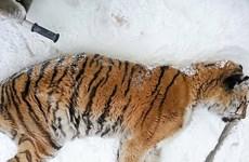 Con hổ Siberia kiệt sức, gục ngã trước cửa nhà dân để cầu cứu