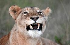 Kẻ săn trộm bị đàn sư tử trong khu bảo tồn tấn công và ăn thịt