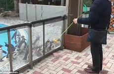 [Video] Đàn chim cánh cụt ở vườn thú lắc lư theo người chơi yo-yo