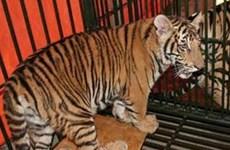 Việt Nam nỗ lực bảo tồn hổ khỏi nguy cơ tuyệt chủng