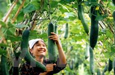 GAP cơ bản: Giải pháp giúp nông dân sản xuất rau an toàn