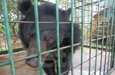 """Thêm một cá thể được trở về """"ngôi nhà"""" gấu lớn nhất Việt Nam"""