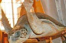 """""""C49 sẽ xem xét khởi tố hình sự vụ tàng trữ hơn 5.000 cá thể rùa biển"""""""