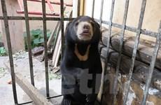 Giải cứu thành công chú gấu chó bị buôn bán ở gần vùng biên giới