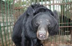 Cả nước còn khoảng 1.250 cá thể gấu bị nuôi nhốt trong các trang trại