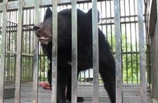Cứu hộ cá thể gấu ngựa thích ăn mật ong thứ 17 ở Quảng Ninh