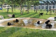 """[Photo] Gấu """"mê"""" trò chơi, tắm tập thể tại Vườn quốc gia Tam Đảo"""
