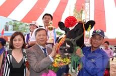 """Độc đáo cuộc thi """"Hoa hậu bò sữa"""" trên vùng thảo nguyên Mộc Châu"""