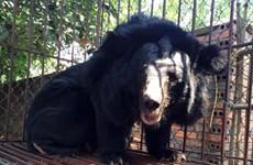 """Quảng Ninh: Thêm 8 cá thể gấu bị nuôi nhốt, hút mật được """"giải cứu"""""""