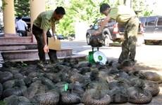 """Mỏi mòn """"ngóng"""" sửa luật, 30 cá thể tê tê ở Cúc Phương đã bị chết"""