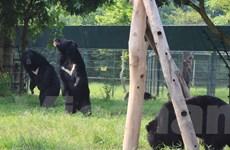 """Quảng Ninh chính thức """"xóa sổ"""" vấn nạn nuôi nhốt gấu lấy mật"""