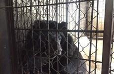 """Cứu hộ cá thể gấu ngựa sau hơn thập kỷ sống trong """"nhà sắt"""" ở Lâm Đồng"""