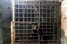 """Cứu hộ cá thể gấu chó sau 7 năm sống trong """"nhà sắt"""" ở Nam Định"""