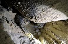"""[Photo] Rùa biển - những """"chiến binh"""" dũng cảm ở vùng Côn Đảo"""