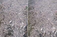 """Cá chết bất thường là """"lời cảnh tỉnh"""" cho Ban quản lý Hồ Tây?"""