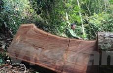 """Bài 2: Vì lợi nhuận trước mắt, người dân """"hóa"""" lâm tặc… phá rừng"""