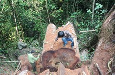 """Xâm nhập vùng gỗ nghiến cổ thụ bị lâm tặc """"xẻ thịt"""" ở tỉnh Hà Giang"""
