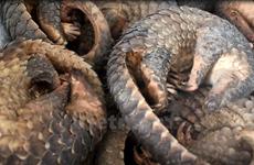 Chung tay chấm dứt nạn buôn bán, làm diệt chủng động vật hoang dã