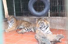 Chạy vì động vật hoang dã: Kêu gọi chống săn bắt, buôn bán tê tê, hổ