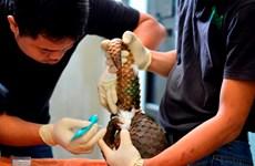54 cá thể tê tê java quý hiếm được tái thả về với thiên nhiên