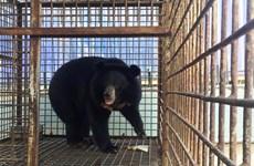 Cứu hộ thành công 14 cá thể gấu bị nuôi nhốt trái phép trong năm 2016