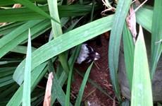 Cứu hộ cá thể cầy vòi hương bị lạc tại nhà cố Đại tướng Võ Nguyên Giáp
