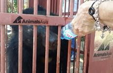 Cứu hộ thành công 2 cá thể gấu ngựa bị nuôi nhốt tại tỉnh Gia Lai