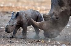 Đại sứ Anh: Sau những chiếc sừng tê giác là máu của rất nhiều người