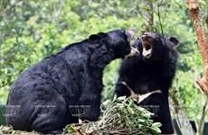 'Chạy vì gấu' hướng tới chấm dứt tình trạng nuôi nhốt gấu lấy mật