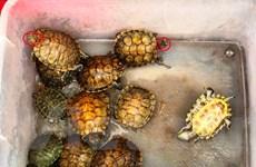 Phản cảm cảnh rao bán rùa tai đỏ để phóng sinh ngay trước cửa chùa