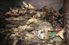 5 loài rùa biển quý hiếm của Việt Nam đang bị đe dọa nghiêm trọng
