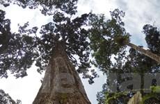 [Photo] Chiêm ngưỡng 'vương quốc' cây pơmu cổ thụ gần 2.000 năm tuổi