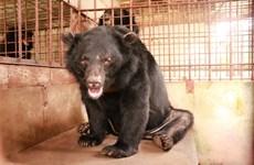Cứu hộ 5 cá thể gấu ngựa sau 20 năm bị nuôi nhốt tại Mỹ Tho