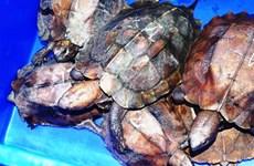 Cục Kiểm lâm lên tiếng vụ 'phù phép' rùa quý hiếm thành rùa nuôi