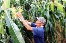 Ngô biến đổi gene giúp nông dân thu lợi nhuận cao hơn 28% ngô thường