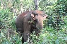 'Cuộc chiến chống buôn bán ngà voi': Không mạnh tay, voi còn đổ máu…