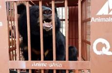 Cứu hộ khẩn cá thể gấu ngựa quý hiếm tại thành phố Lạng Sơn