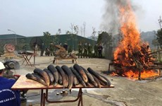 Ngày Voi thế giới: Tiêu hủy ngà voi cần trở thành thông lệ ở Việt Nam