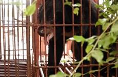 Cứu hộ thành công 3 cá thể gấu ngựa quý, hiếm tại tỉnh Nam Định