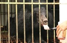 Cứu hộ thành công cá thể gấu ngựa cuối cùng bị nuôi nhốt tại Gia Lai