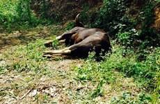 Bộ TN-MT đề nghị Đồng Nai xử nghiêm nhóm giết hại bò tót quý hiếm