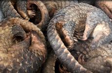 Hưng Yên: Tuyên phạt đối tượng tàng trữ 780kg vảy tê tê 63 tháng tù