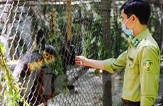 'Bảo mẫu' linh trưởng: Dành cả thanh xuân bảo tồn nguồn gene quý hiếm
